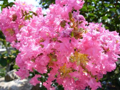 庭に咲いた百日紅(さるすべり)の花です!
